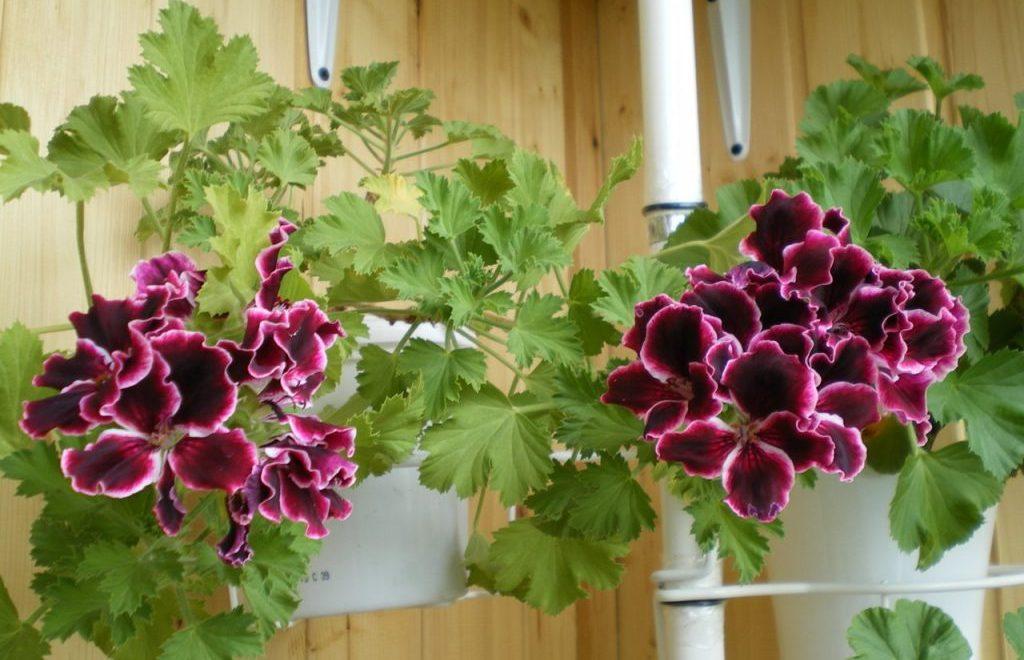 Красивые домашние цветы