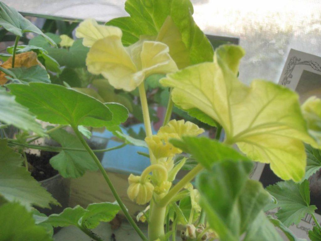 Что делать если желтые листья у цветка