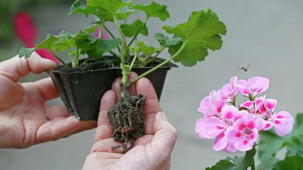 Размножение королевского цветка