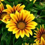 Фото 17: Желтая авриканская ромашка