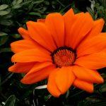 Фото 20: Оранжевая ромашка