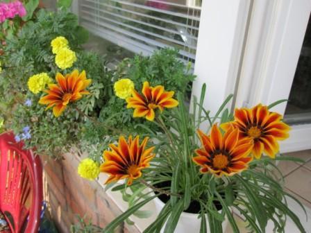 Посадка многолетнего цветка на балконе