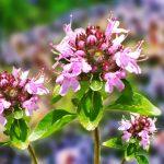 Фото 20: Цветы чабреца