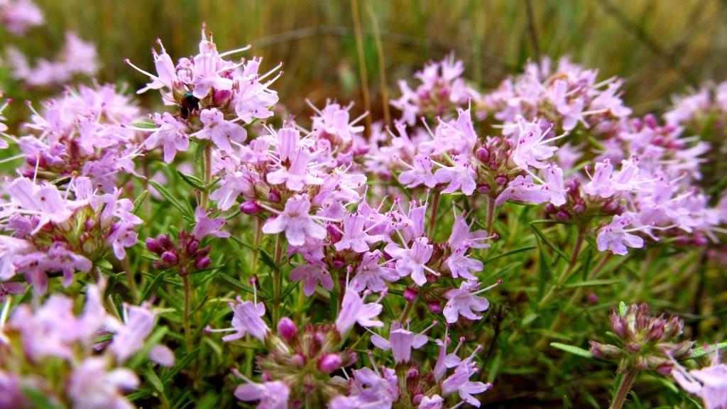 как цветет трава душистая