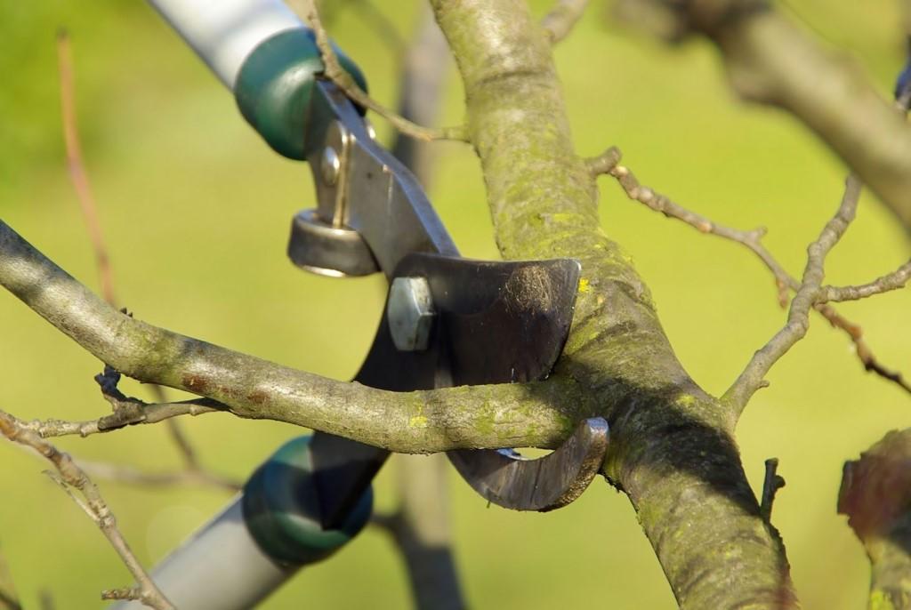 Как правильно обрезать плодовое дерево