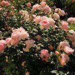 Фото 1: Английская роза