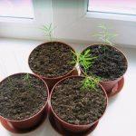 Фото 18: Аспарагус из семян