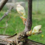 Фото 13: Виноградная лоза