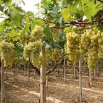 Фото 2: Виноград кустарник
