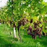 Фото 9: Виноград на дереве