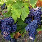 Фото 10: Виноград синий