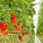 Фото 2: Выращивание помидор