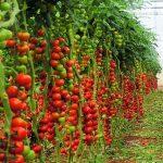 Фото 3: Выращивание томатов