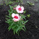 Фото 6: Гвоздика в саду