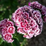 Фото 7: Гвоздика многолетняя в саду фото