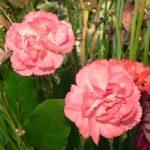 Фото 13: Гвоздика садовая многолетняя фото