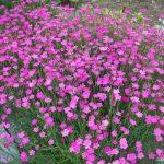 Фото 25: Гвоздики розовые многолетние