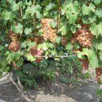 Фото 16: Гелиос виноград