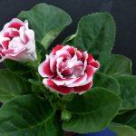 Фото 24: Глоксиния королевская цветок