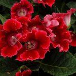 Фото 26: Глоксиния красная фото