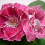 Фото 31: Глоксиния махровая цветок