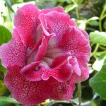 Фото 35: Глоксиния розовая фото