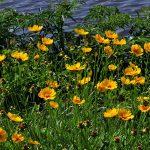 Фото 40: Кореопсисы жёлтые