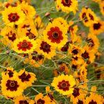 Фото 3: Кореопсис красильный жёлтый