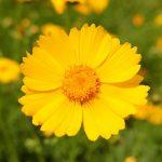 Фото 33: Кореопсис ланцетовидный жёлтый