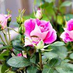 Фото 3: Корневые розы