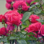 Фото 14: Кусты розовые