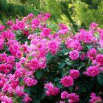 Фото 49: Кусты розовых роз