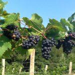 Фото 20: Куст винограда
