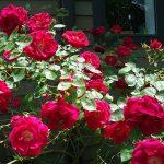 Фото 5: Куст розы
