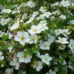 Фото 7: Лапчатка цветы