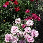 Фото 32: Лилипут гвоздика