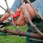 Фото 28: Обрезаем виноград