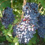 Фото 37: Обрезанный виноград