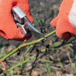 Фото 39: Обрезка розы