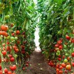 Фото 6: Парник для томатов и помидор