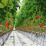 Фото 10: Подвязка в теплице томатов