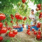 Фото 11: Подвязка помидор и томатов
