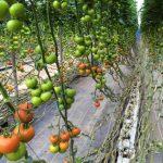 Фото 14: Подкормка помидоров
