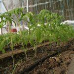 Фото 18: Подкормка томатов