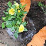 Фото 41: Посадка кустов роз