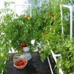 Фото 26: Посадка помидор в теплицу