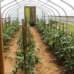 Фото 28: Посадка томатов