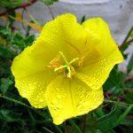 Фото 2: Примула цветок вечерняя