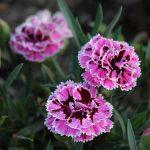 Фото 39: Розовая гвоздика