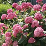 Фото 7: Розовая гортензия